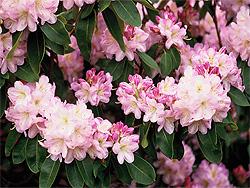 gesunder rhododendron sortenwahl pflanzung pflege arkadia gartengestaltung berlin. Black Bedroom Furniture Sets. Home Design Ideas